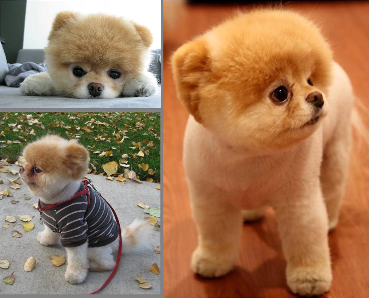 Boo – o cachorro mais fofo da internet